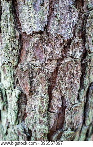Shallow depth of fucus moss on fir tree bark