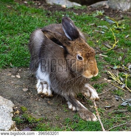 Mountain Hare, Lepus Timidus, Also Known As The White Hare With Brown Hair In Summer