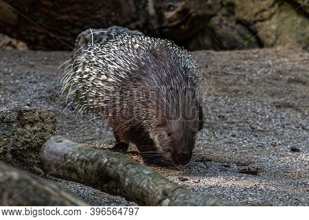 The Indian Crested Porcupine, Hystrix Indica Or Indian Porcupine, Is A Large Species Of Hystricomorp