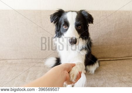 Funny Portrait Of Cute Puppy Dog Border Collie On Couch Giving Paw. Dog Paw And Human Hand Doing Han