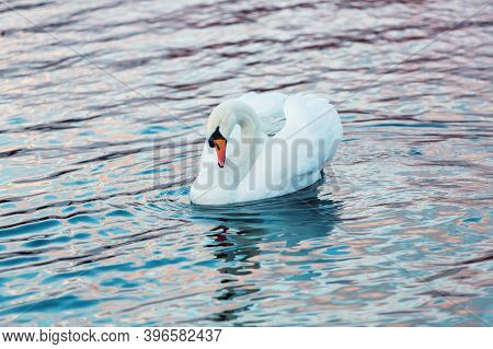 White Swan In Profile On The Dark Lake Water. Beautiful Reflections And Glare Of Sunlight On The Wat