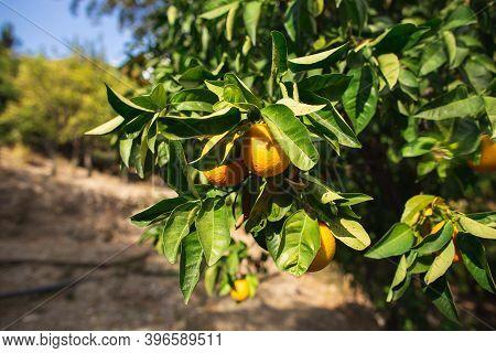 Orange Tree With Ripe Oranges In Sunny Day