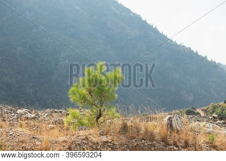 Lonely Young Coniferous Tree In Mountains, Fortitude. Courage, Power Of Nature In Achieving Goals.