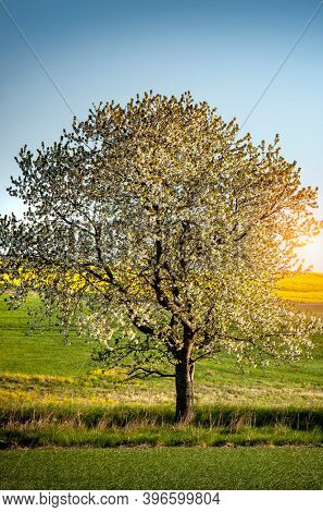 Blossom Tree in south Sweden
