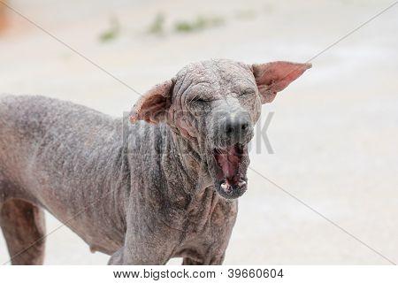 Thai Dog Sarcoptic Mange