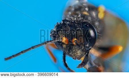 Extreme close up shot of dead hornet on blue background