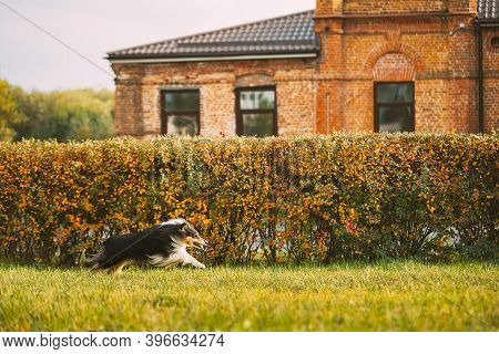 Tricolor Rough Collie, Funny Scottish Collie, Long-haired Collie, English Collie, Lassie Dog Running