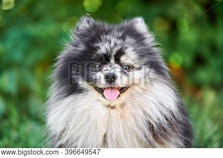 Pomeranian Spitz Dog Close Up Portrait, Green Garden Background. Cute Pomeranian Puppy On Walk. Funn