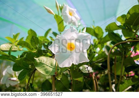 White Dipladenia Flower In Greenhouse. Flowering Plant In Garden. Closeup Shot. Nature Or Botany Con