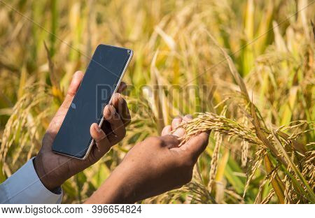 Close Up Of Farmer Hands Checking The Crop Yield And Pests By Using Mobile Phone - Concept Of Farmer