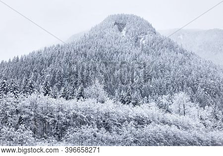 Coniferous Snowy Forest In The Rocky Mountains. Tall Spruce Trees And Mountain Peaks In Snowy Weathe