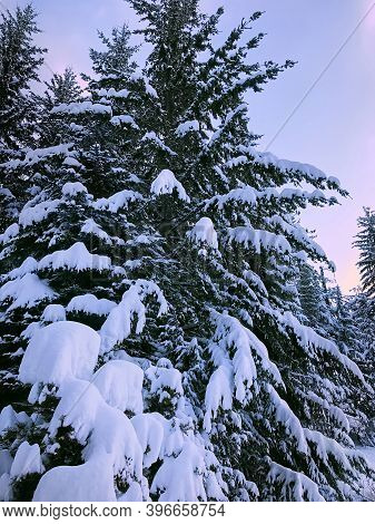 Spruce In The Snow In The Lilac Sunset Rays. Natural Winter Background