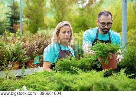 Concentrated Gardeners Arranging Coniferous Plants In Garden. Man And Woman Wearing Aprons And Growi