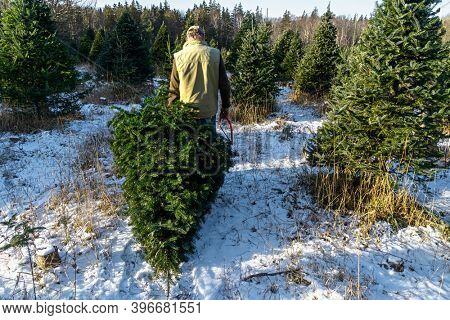 Man hauling away a freshly cut balsam fir tree at a Christmas tree farm.