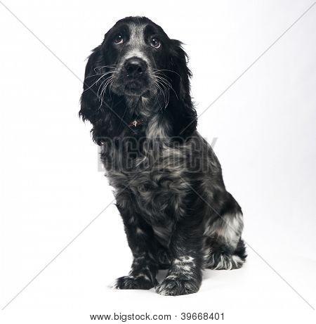 Cocker Spaniel puppy dog over white poster