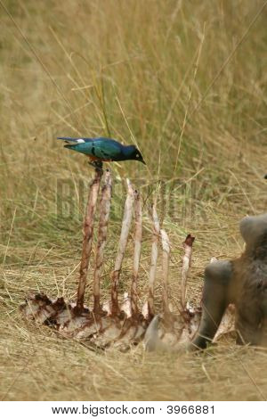 Superb Starling On Carcass