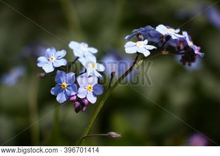 Sunny Spring Day. In The Foreground Modest Inflorescences Of A Forget-me-not With Blue Flowers.