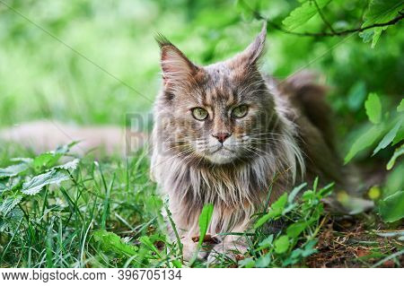 Maine Coon Cat In Park Grass. Adult Cute Cat Walk In Garden. Largest Domesticated Feline Breed For H