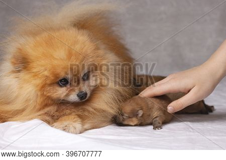 Next To A Fluffy Orange Pomeranian Lie Three Newborn Puppies The Human Hand Puts The Puppy To The Do