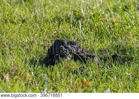 Cow Dung On Green Grass On A Sunny Day With A Blurred Background, Agricultural Field In The Dutch Co