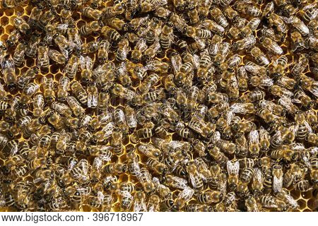 Bee Background, Close Up Image Of Plenty Of Bees In Frame From Hive, Apiculture