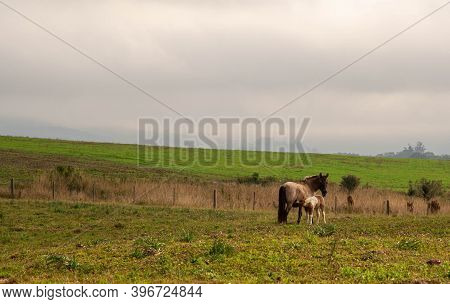 Rural Scene Of A Horse Cub Suckling And Feeding On Its Mother