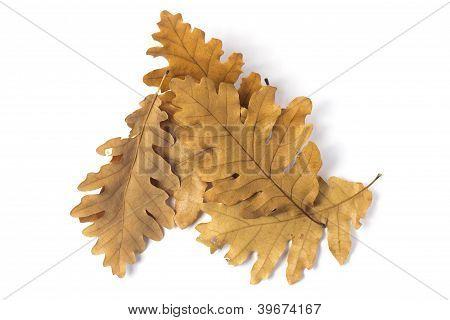 Few leaves of oak