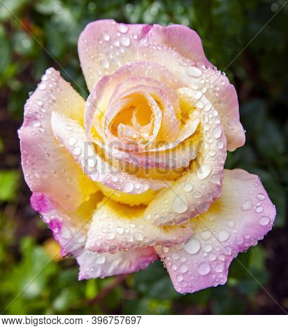 Beautiful Rose Flower Gloria Dei In Water Drops After Rain. Peace Rose, Or Gioia, Or Madame A. Meill