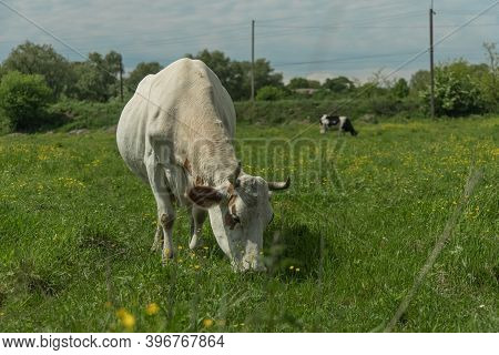 Eastern Europe Russia Country Side Outskirts Environment Space Rustic Pasture With Cow
