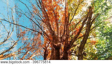 Tree Gradually Changing Seasons From Summer, Autumn And Winter