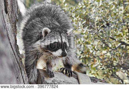 Close Up Of A Bandit Masked Raccoon On A Tree Branch Looking Towards The Camera With Shallow Depth O
