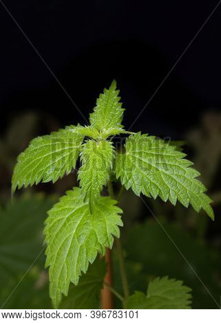 Bush Of Stinging Common Nettles With Fluffy Green Leaves On Dark Background