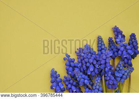 Grape Hyacinth Muscari Flower .spring Season. Muscari Flowers On A Yellow Background. Floral Greetin