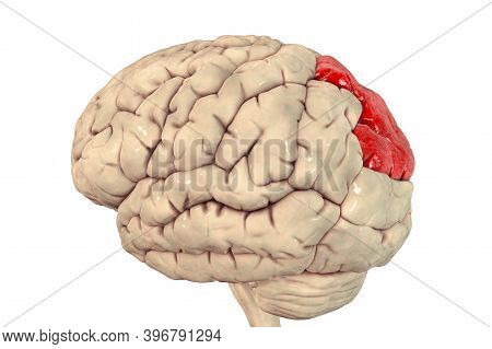 Human Brain With Highlighted Superior Parietal Lobule, 3d Illustration