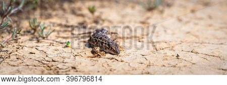 Steppe Runner Lizard Or Eremias Arguta Close On Dry Ground.