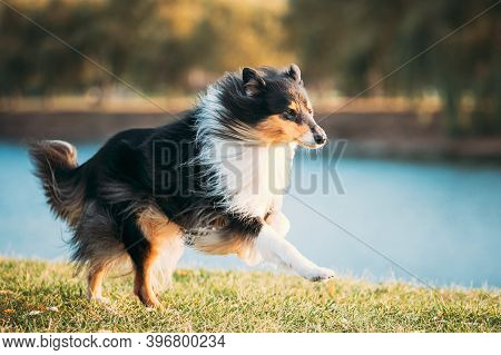 Rough Collie, Funny Scottish Collie, Long-haired Collie, English Collie, Lassie Dog Running Outdoors