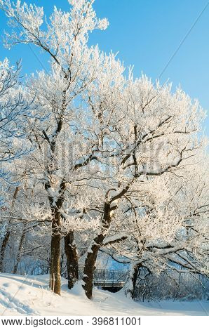 Winter forest trees covered with white ice and snow, winter landscape, winter forest trees in sunny winter day, winter forest landscape, colorful winter nature with snowy winter trees