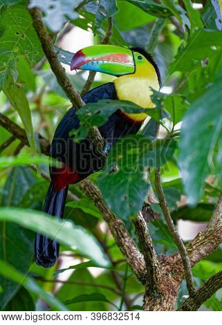 Keel-billed Toucan Living In The Rainforest Of Costa Rica.