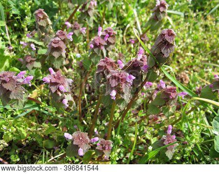 Purple Dead-nettle, Lamium Purpureum, On A Field
