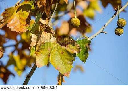 Details With Autumn Maple Leaves And Fruits Under The Light Of A November Day Sun.