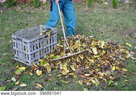Farmer Loads Traditionally With Rake Yellow Autumn Leaves Into A Crate In The Village