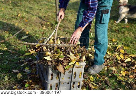 A Gardener Puts Fallen Leaves In A Crate In The Autumn In The Garden The Traditional Way With Rakes