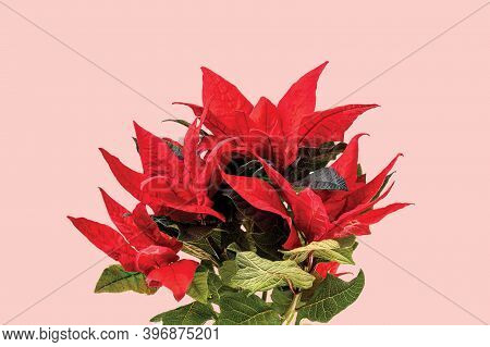 Beautiful Close Up View Of Red Poinsettia Plant Isolated On Pink Background. Christmas Concept.