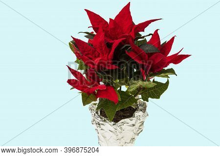 Beautiful Close Up View Of Red Poinsettia Plant Isolated On Blue Background. Christmas Concept.