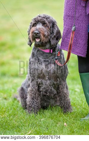Well Behaved Happy Black Labradoodle On A Leash And Sitting In A Field Next To Owner.