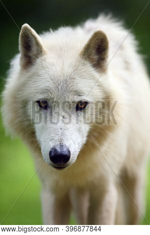 The Arctic Wolf (canis Lupus Arctos),portrait.portrait Of A White Wolf With Yellow Eyes.