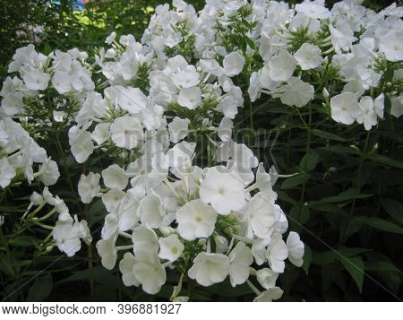 Macro Photo With A Decorative Background Of Beautiful Delicate White Flowers Of The Herbaceous Phlox