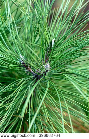 Beautiful Long Green Needles Austrian Pine (pinus ) Or Black Pine Closeup. Original Texture Of Natur