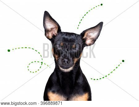 Prague Ratter Dog Considering The Problem Of Tick Insects And Fleas , Close To Scratch Its Skin Or F
