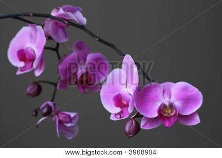 Beautiful Purple Orchid Phalaenopsis Zen Flower Blossom